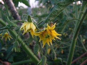 kwiat pomidorów