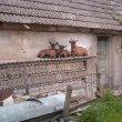 Kozy odpoczywają