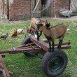 Każda koza to blachara.